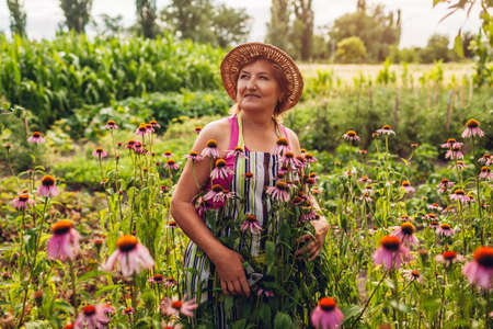 Senior woman gathering flowers with pruner in garden. Farmer taking care of Echinacea or coneflower. Summer gardening concept. Lifestyle