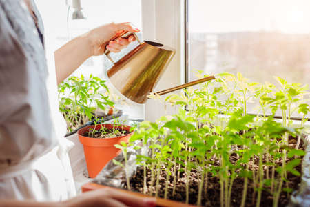 Watering tomato seedlings in box with watering can at home on window sill. Spring work. Agriculture and farming. Organic farm