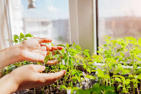 Farmer checking tomato seedlings in box at home. Spring vegetables growing on window sill. Agriculture and farming. Archivio Fotografico