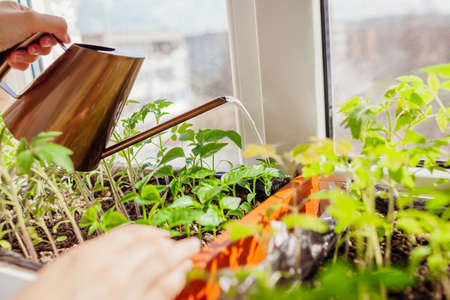 Watering pepper and tomato seedlings in box with watering can at home on window sill. Spring work. Agriculture and farming. Organic farm Archivio Fotografico
