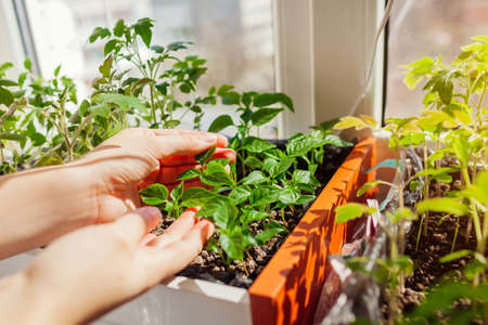 Farmer checking tomato and pepper seedlings in box at home. Spring vegetables growing on window sill. Agriculture and farming.