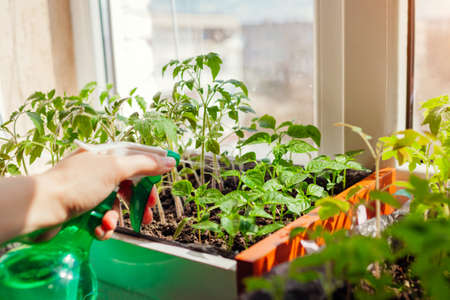 Spraying tomato and pepper seedlings in box with water at home. Spring work. Agriculture and farming. Growing vegetables