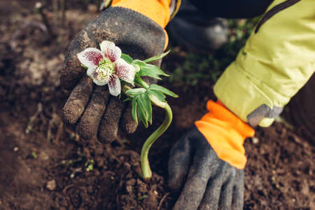 Planting hellebores flowers in spring garden. Gardener covers plant with soil wearing gloves outdoors. White and purple blooms