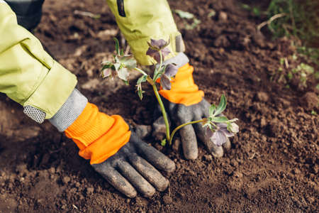 Planting hellebores flowers in spring garden. Gardener covers plant with soil wearing gloves outdoors. Green and purple blooms