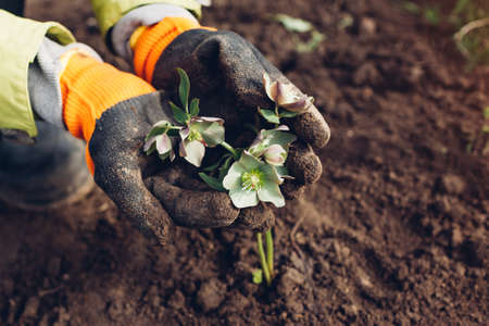 Planting hellebores flowers in spring garden. Gardener holds green and purple blooms in blossom.