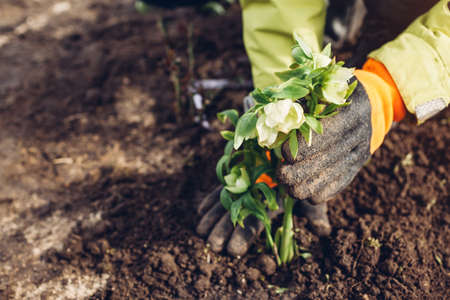 Planting hellebores flowers in spring garden. Gardener covers plant with soil wearing gloves outdoors. White and green blooms