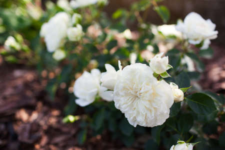 White groundcover rose Snow Ballet blooming in summer garden. Little shrub blossoms covered with double flowers. Close up Archivio Fotografico