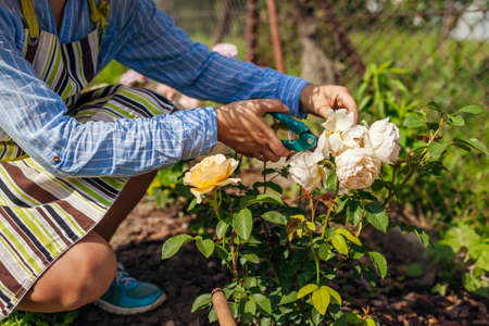 Woman deadheading English spent rose blooms in summer garden. Gardener cutting dry flowers off with pruner.