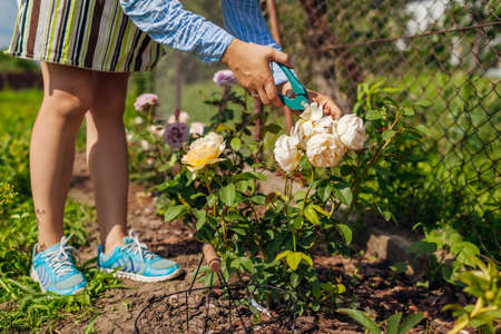 Woman deadheading Graham Thomas wilted roses in summer garden. Gardener cutting dry flowers off with pruner. Archivio Fotografico
