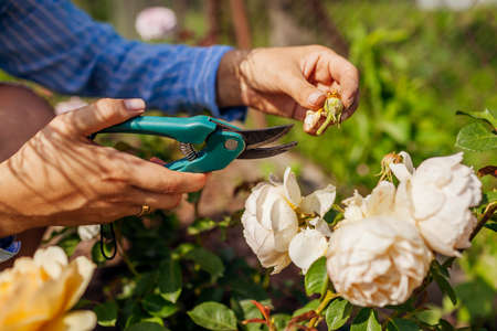 Woman deadheading dry wilted roses in summer garden. Gardener cutting dry flowers off with pruner. Close up of rose hip