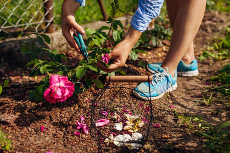 Woman deadheading pink spent rose blooms in summer garden. Gardener cutting dry flowers off with pruner and puts them in basket. Archivio Fotografico