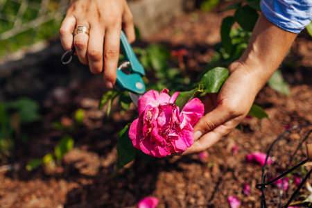 Woman deadheading William Shakespeare wilted roses in summer garden. Gardener cutting dry flowers off with pruner. Archivio Fotografico