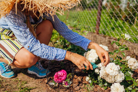 Young woman deadheading white wilted roses in summer garden. Gardener cutting dry flowers off with pruner. Snow ballet Archivio Fotografico