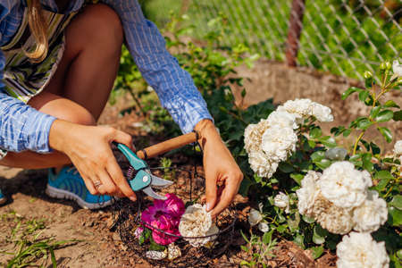 Woman deadheading spent rose blooms in summer garden. Gardener cutting dry flowers off with pruner and puts them in basket. Archivio Fotografico