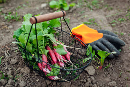 Radish harvested in metal basket. Long red and white root crops picked on kitchen garden