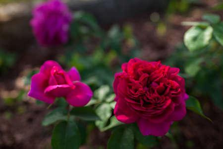 Magenta pink rose William Shakespeare blooming in summer garden. English David Austin selection roses flowers Archivio Fotografico
