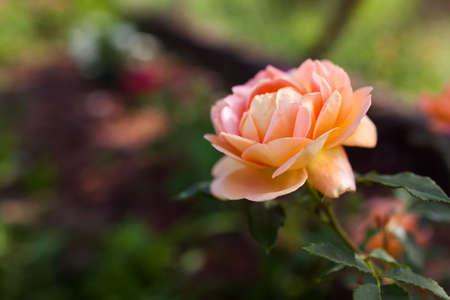Orange salmon rose Lady of Shalott blooming in summer garden. English David Austin selection roses flowers
