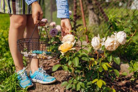 Woman deadheading spent rose blooms in summer garden. Gardener using pruner and basket for work outdoors. Archivio Fotografico
