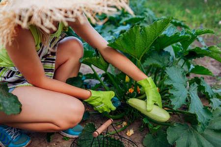 Woman gardener harvesting zucchini in summer garden, cutting them with pruner and putting them in basket. Vegetables crop