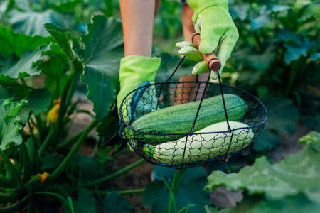 Gardener harvesting zucchini in summer garden, holding them in metal basket. Close up of green and white vegetables. Organic homegrown food