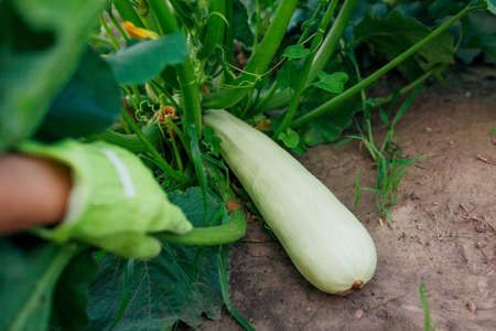Gardener harvesting zucchini in summer garden, looking for fruit. Big vegetable ready to be cut. Close up Archivio Fotografico