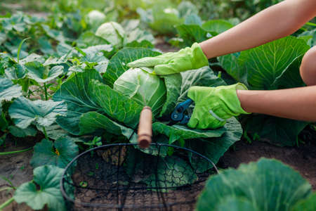 Gardener picking cabbage in summer garden, cutting it with pruner and putting vegetable crop in basket Organic vegetables harvest. Close up of healthy food Archivio Fotografico