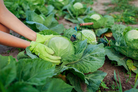 Gardener picking cabbage in summer garden, choosing ripe ready vegetable and putting crop in basket. Close up of organic food. Agriculture Archivio Fotografico