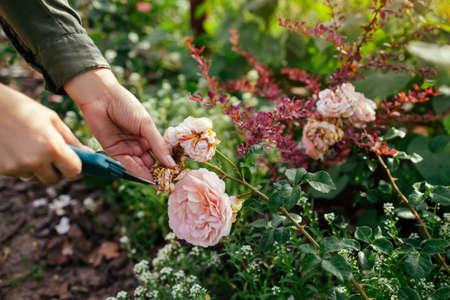 Woman deadheading spent english rose hips in summer garden. Gardener cutting wilted flowers off with pruner. Abraham Darby rose by David Austin
