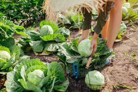 Young woman gardener picking cabbage in summer garden putting vegetable crop in basket. Organic vegetables harvest. Healthy food