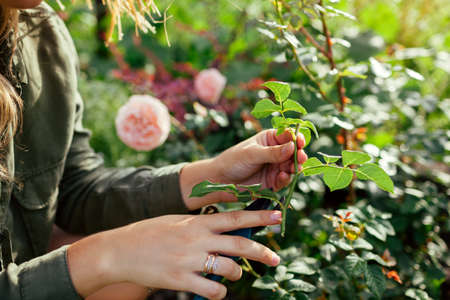 Propagation of roses. Gardener holding rose stem cutting in summer garden. Plant reproduction. Woman using pruner. Close up