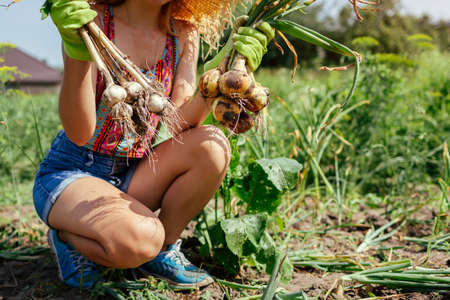 Gardener harvesting onions and garlic in summer garden holding bunch of picked vegetables. Growing organic food on farm Archivio Fotografico