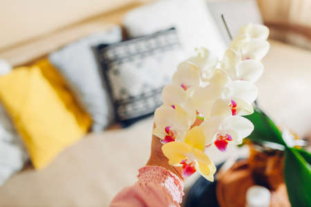 Woman holding yellow orchid in blossom blooming on coffee table. Home decorated with flowers and plants