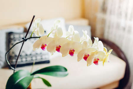 Interior of living room. Yellow orchid in blossom blooming on coffee table by candle. Home decorated with flowers and plants Archivio Fotografico