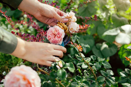 Woman deadheading spent english rose hips in summer garden. Gardener cutting wilted flowers off with pruner. Abraham Darby rose by Austin