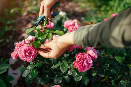 Woman deadheading dry leonardo da vinci rose in summer garden. Gardener cutting wilted spent flowers off with pruner. Archivio Fotografico