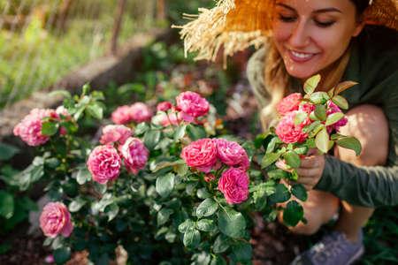 Leonardo da Vinci pink rose blooming in summer garden. Gardener woman enjoys blossom. Meilland selection roses flowers