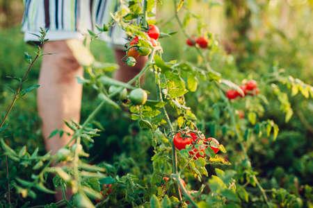 Gardener picks red cherry tomatoes on farm. Farming, gardening concept. Farmer picking vegetables. Harvest time