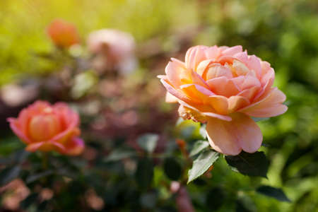 Orange salmon rose Lady of Shalott blooming in summer garden. English Austin selection roses flowers