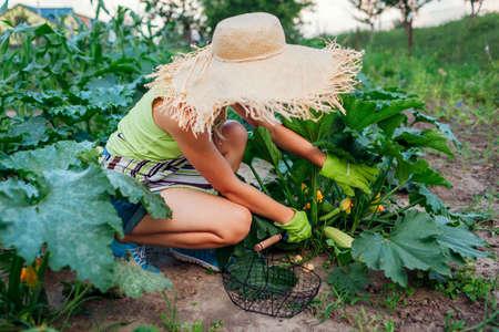 Woman gardener harvesting zucchini in summer garden, cutting them with pruner and putting in basket