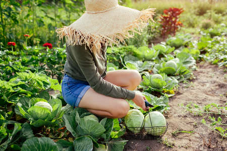 Woman gardener picking cabbage in summer garden putting vegetable crop in basket. Healthy food harvest