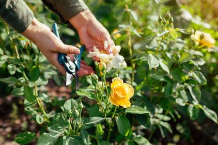 Woman deadheading spent rose hips in summer garden. Gardener cutting wilted flowers off with pruner.