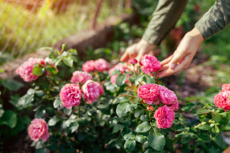 Leonardo da Vinci hot pink rose blooming in summer garden. Gardener enjoys blossom. Meilland selection roses flowers Archivio Fotografico