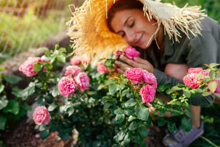 Leonardo da Vinci pink rose blooming in summer garden. Gardener smells blossom. Meilland selection roses flowers Archivio Fotografico