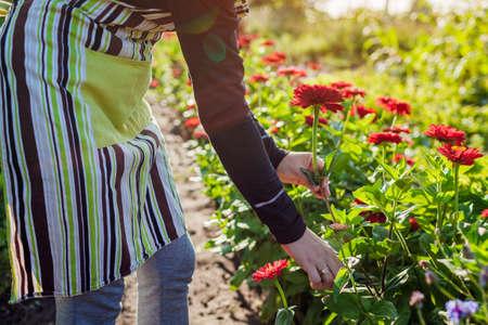 Woman gardener picking red zinnias in summer garden using pruner. Cut flowers harvest
