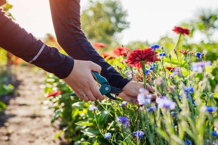 Woman gardener picks red zinnias and blue bachelor buttons in summer garden using pruner. Cut flowers harvest