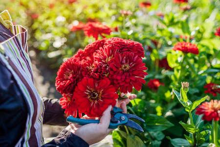 Woman gardener picks bouquet of red zinnias in summer garden using pruner. Cut flowers harvest