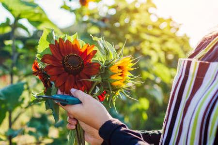 Woman gardener picks orange sunflowers in summer garden using pruner. Cut flowers harvest for bouquets