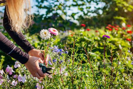 Woman gardener picks asters in summer garden using pruner in flower bed. Cut flowers harvest for bouquets