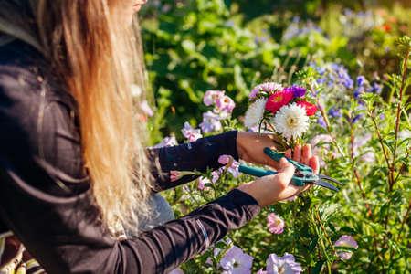 Gardener picked bunch of asters in summer garden using pruner tool. Cut flowers harvest for bouquets