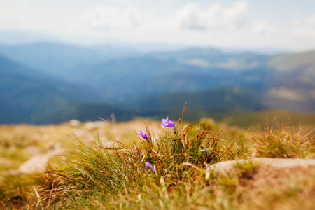 View of summer mountain landscape in Carpathians with purple bellflower blooming in grass. Natural field meadow background